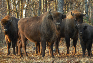 Bisons in Belovezhskaya Puscha, Belarus