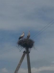 Stork in Belarus